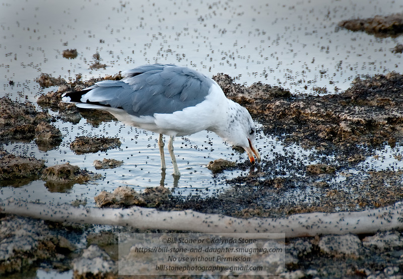 California Gull (Larus californicus) feeds on brine flies-Mono Lake California