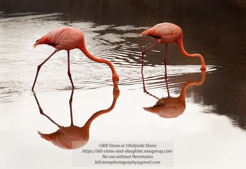 Flamingo 7-Isla Floreana-Galapagos