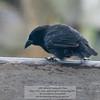 A Darwin Finch-Isla Santa Cruz-Galapagos 1