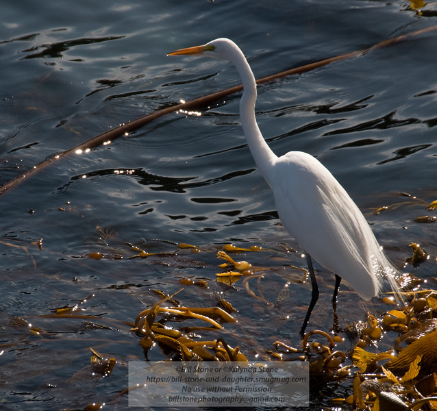 Great Egret -  Ardea alba - Point Lobos