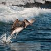 Brown Pelican-Santiago Island-Galapagos-2