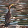 Double-crested Cormorant (Phalacrocorax auritus )- Contra Costa County