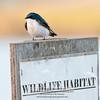 Tree Swallow -Tachycineta bicolor