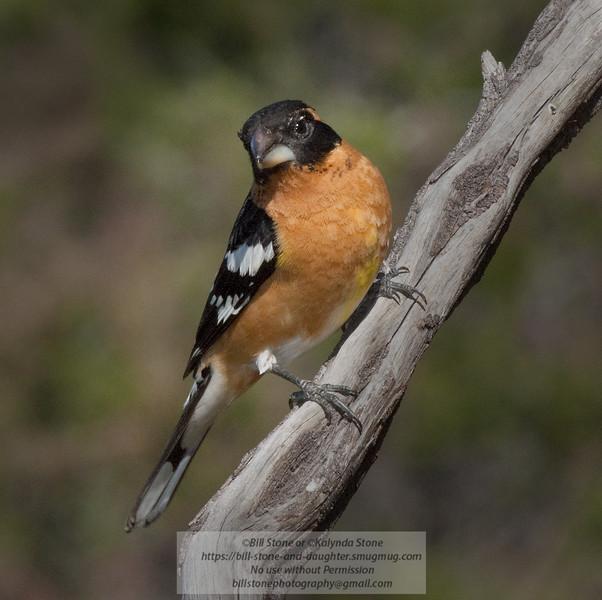 Black-Headed Grosbeak - Pheucticus melanocephalus - Monterey County, California