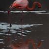 Flamingo 9-Isla Floreana-Galapagos