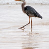 Great Blue Heron 2-Isla Floreana-Galapagos
