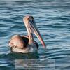 Brown Pelican-Santiago Island-Galapagos-1