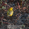 Galapagos Yellow Warbler (Dendroica petechia)-Cerro Dragon-Galapagos