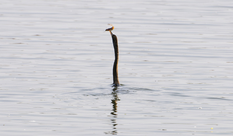 Darter fishing for breakfast. See the next two pictures to see the eating/fishing behavior.
