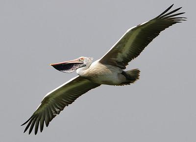 Pelican - Flight