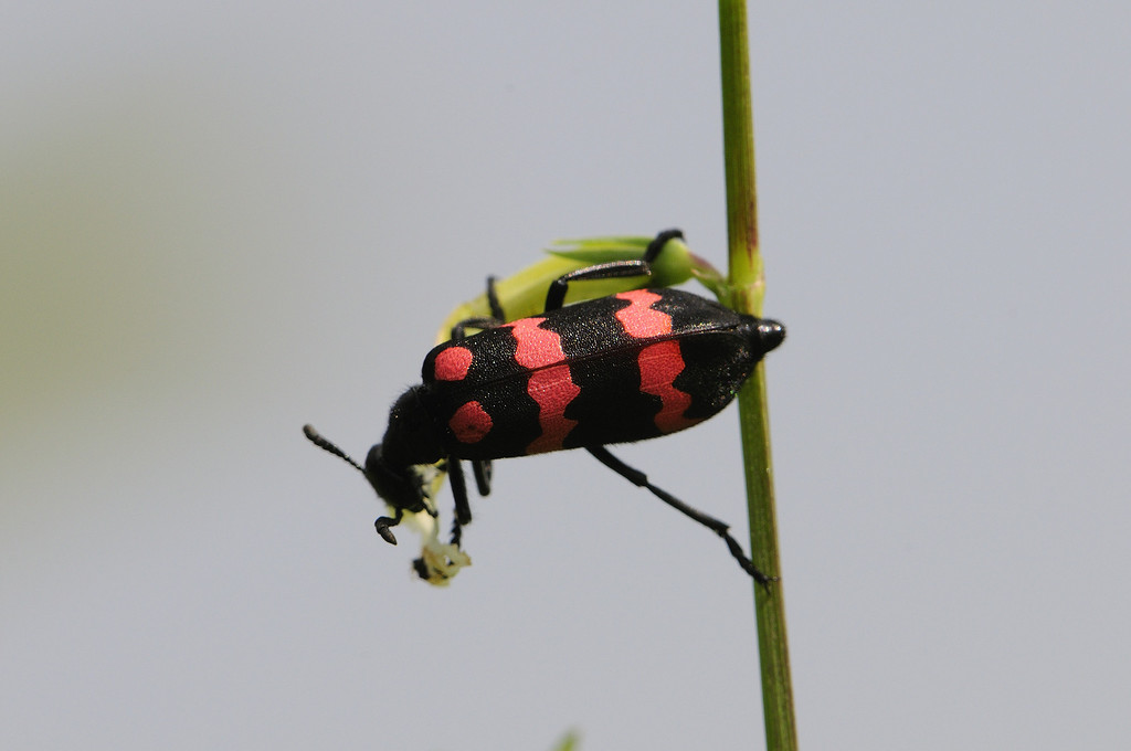 Tried to get this bug shot with a 200-400 Lens. Need to increase the DOF I guess. The head is out of focus.