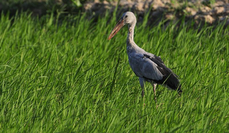 Open Bill Stork