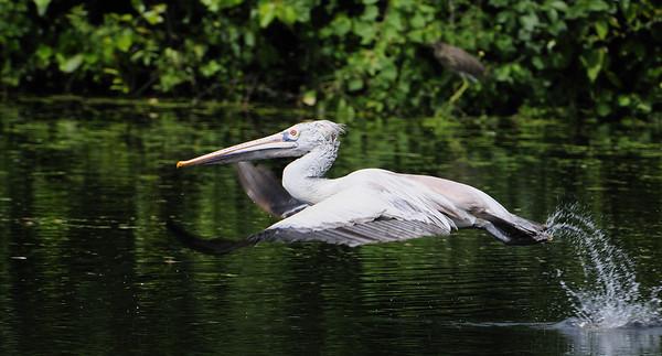 Pelican - Take off
