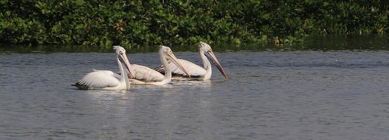 Pelican Trio.