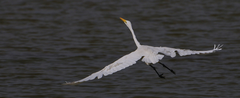 Take off - Egret