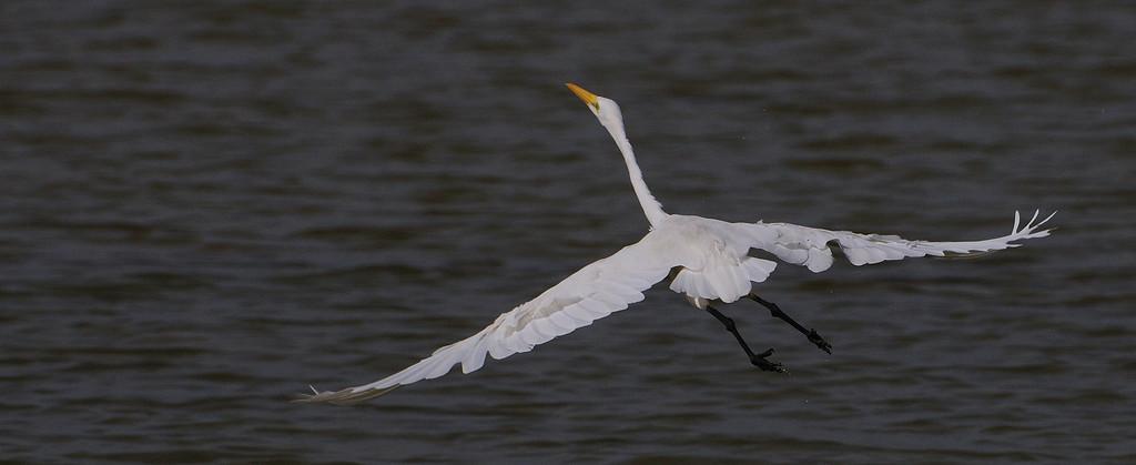 Take off - Egret