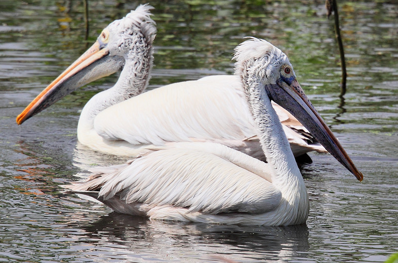 Pelican - Taken with a Canon 7D and 500 mm