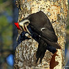 Nice Male Pileated pose in nest tree, Minong WI