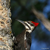 Female Pileated Close up - Note Red Crest with Brown Down Forehead, Black Line at Bill and More Brownish Eye