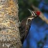 Female on Nest Tree