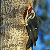 Male Pileated Woodpecker at nest hole in Nice Pose