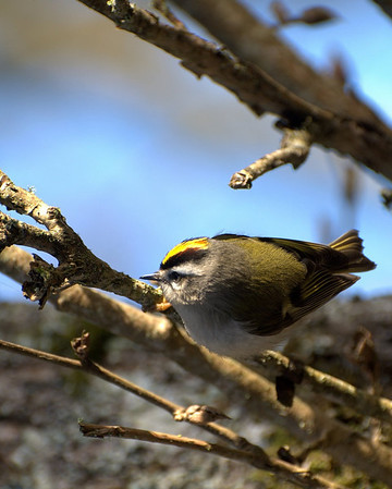 Golden-Crown Kinglet