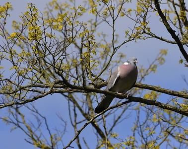 Woodpigeon
