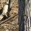 This is blurry because it focused on the tree, but if you look to the left of the skinny branch the flicker is flying off it.
