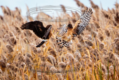 Harriers, playing over the phragmites. They were hunting for something in the tall weeds. I thought I discovered what they eat, but it turned out to be a clump of grass.. See the slideshow at the start of the gallery.