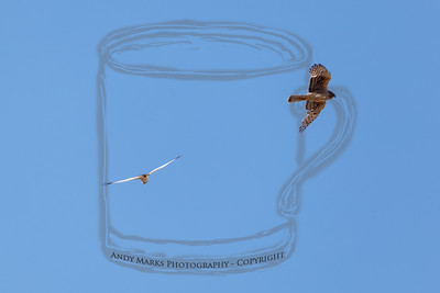 The female and male Harriers, crossing just about directly overhead.
