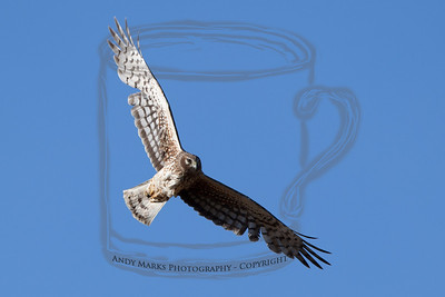 Female Norther Harrier overhead.