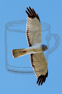 Male Northern Harrier, passing directly overhead.