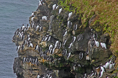 Thick-billed Murres