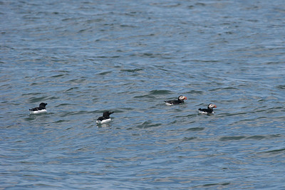 Razorbill & Atlantic Puffin