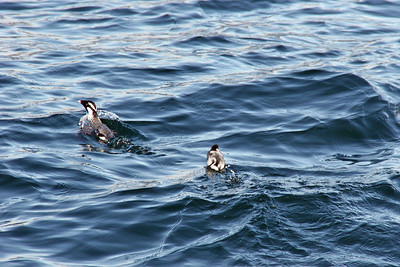 Ancient Murrelet with Baby