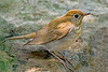 Veery Thrush,<br /> Quintana Neotropical Bird Sanctuary, Freeport, Texas