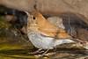 Veery Thrush,<br /> Quintana Neotropical Bird Sanctuary, Quintana, Texas