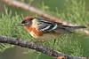 Bay-breasted Warbler,<br /> Quintana Neotropical Bird Sanctuary, Quintana, Texas