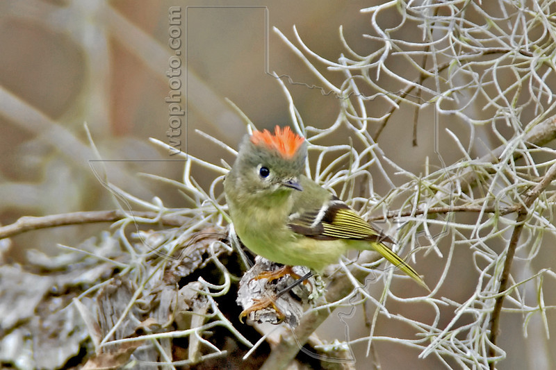 Ruby-crowned Kinglet<br /> Brazos Bend State Park, Texas