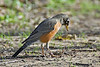 American Robin and Worm,<br /> Brazos Bend State Park, Texas