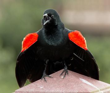 2016-03-27  Red-winged Blackbird
