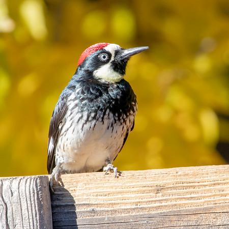 2020-12-13  Acorn Woodpecker