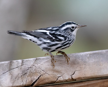 2020-10-16  Black-and-white Warbler