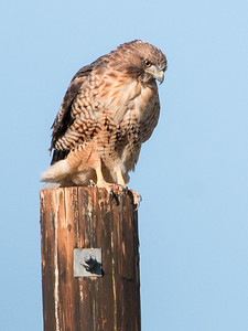 2017-09-16  Red-tailed Hawk