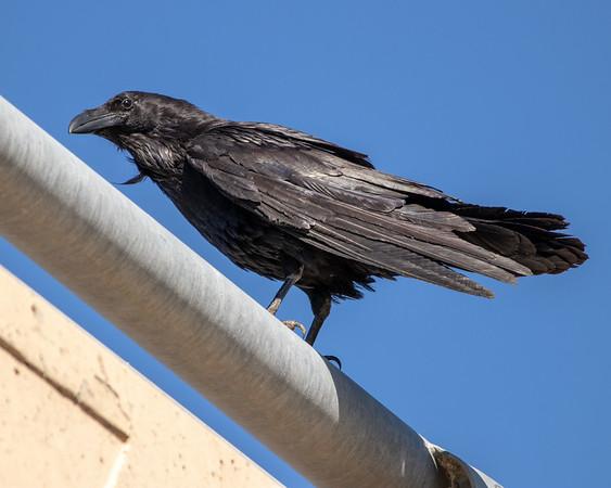 2020-06-13  Common Raven