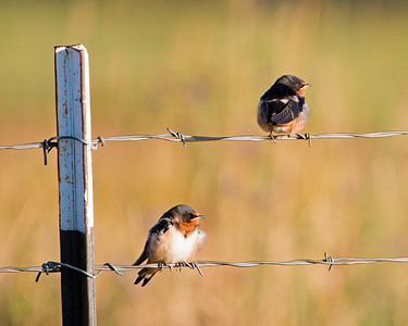 2017-09-16  Barn Swallow