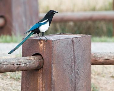 2017-09-16  Black-billed Magpie