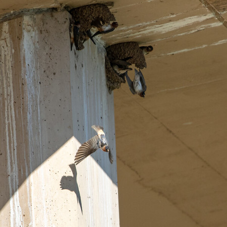 2020-06-13  Cliff Swallow