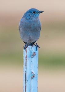 2017-09-17  Mountain Bluebird