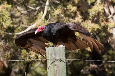 2017-09-16  Turkey Vulture